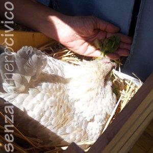 chioccia sabelpoot nel nido