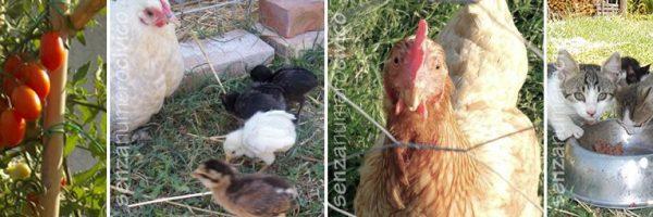 pomodori da conserva, pulcini araucana con chioccia sabelpoot, gattini, gallina curiosa