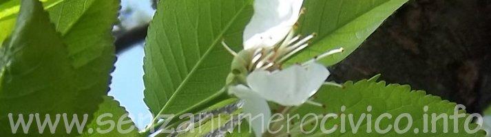 fioritura albicocco