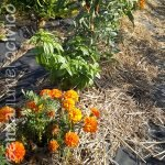 pomodori, basilico e tagete