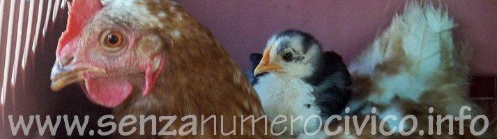 ovaiola rossa con il suo pulcino sabelpoot
