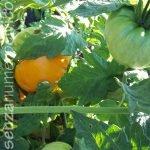 pianta pomodoro amana arancio