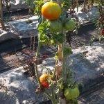 pomodoro antico bastoncino