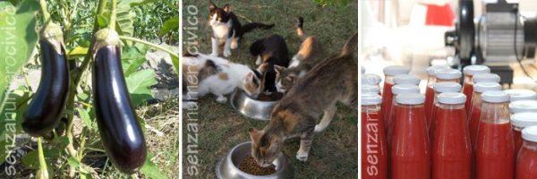 melanzane, gattini, passate di pomodoro