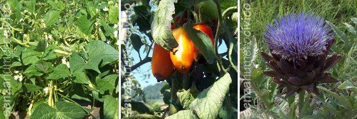 fagiolini bianchi, pomodori con culo nero e fiore di carciofo