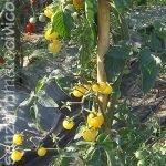 pianta pomodoro napa chardonnay