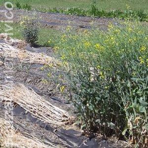 orto da seme: broccoli rapa in fiore