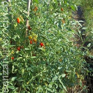 orto da seme: pomodori spontanei
