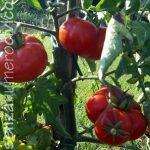 pianta pomodoro santorini