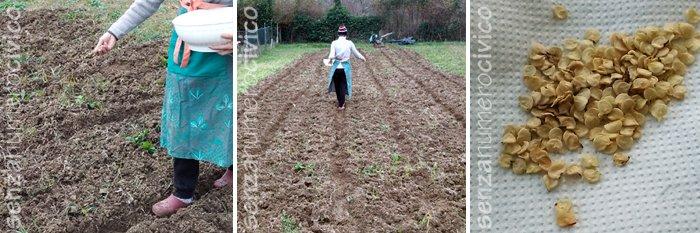semina grano