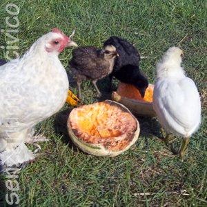 gallina mangia frutta importante per benessere