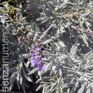 erbe aromatiche: pianta di lavanda