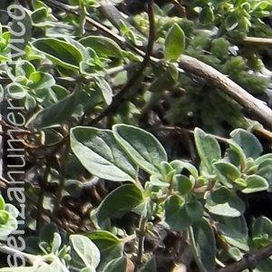pianta di origano
