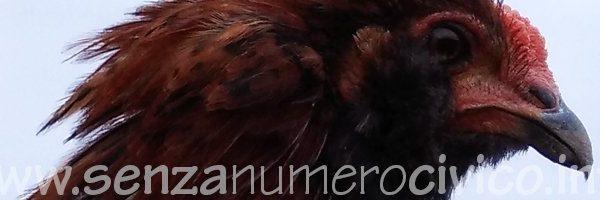 gallo araucana colorazione selvatica