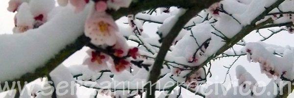 albicocco sotto la neve