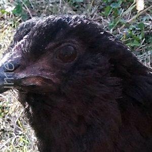 ciuffi auricolari della gallina araucana