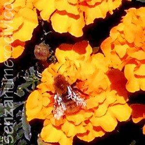 fiore di tagete ascolta il ronzio di un'ape