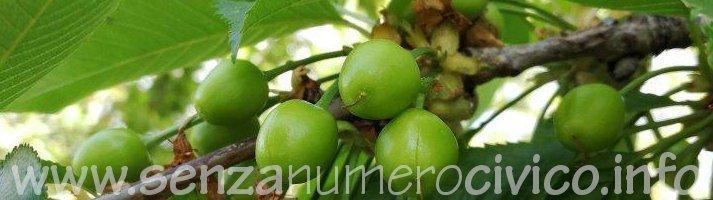 ramo con ciliegie ancora verdi