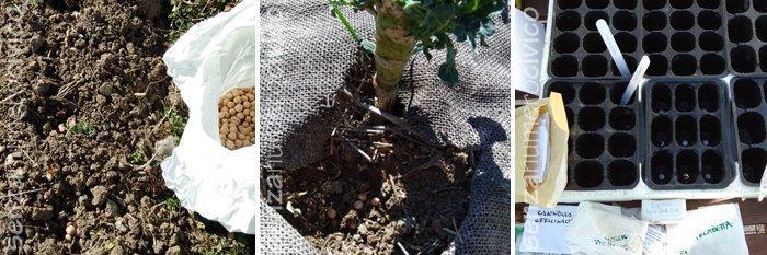 semina dei ceci, semine in semenzaio