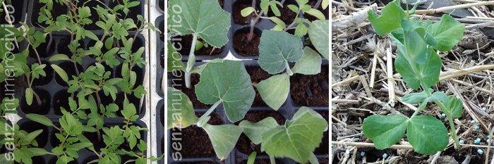 semenzai di pomodori antichi e zucchine. piselli trapiantati in campo