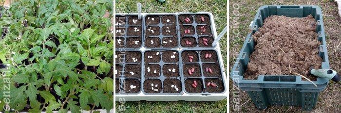pomodori antichi in semenzaio, fagioli in semenzaio, stallatico di cavallo