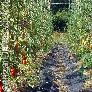 filari di pomodori con pacciamatura