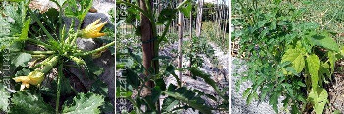 zucchina, pomodori antichi e pomodori spontanei