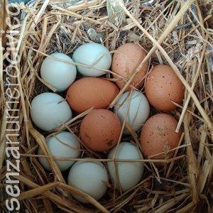 cova: uova nel nido della chioccia