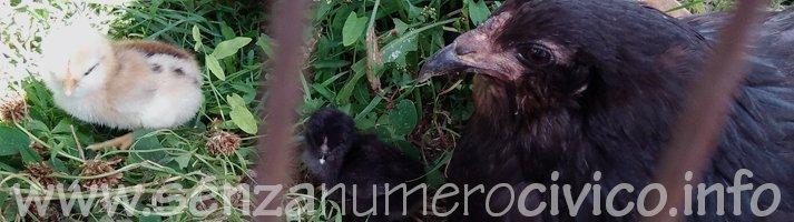 chioccia araucana e pulcini