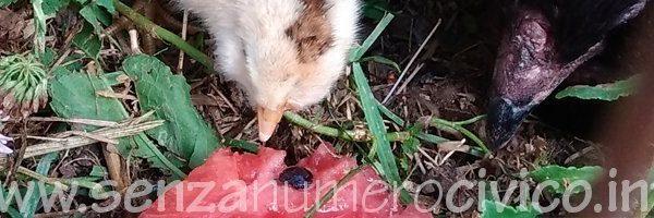 pulcino araucana assaggia l'anguria