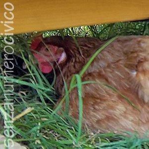 Galline e caldo: ovaiola all'ombra della casetta-pollaio