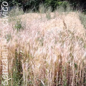 crescita grano: fine giugno