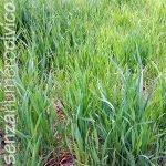 crescita del grano: marzo