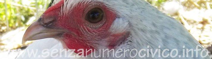 gallina sabelpoot, cavità nasali sul becco