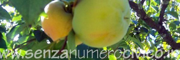 frutti in fase di maturazione