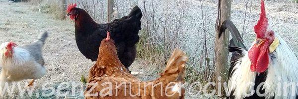 gallo e galline nel pollaio