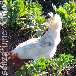 gallina tra le file di fave