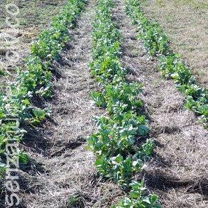 agricoltura biologica: fave
