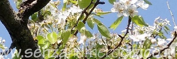 Aprile: fioritura del pero
