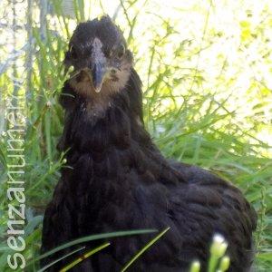 gallina araucana nera a due mesi
