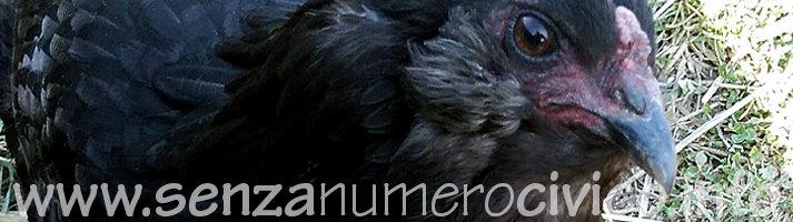 la nostra araucana nera