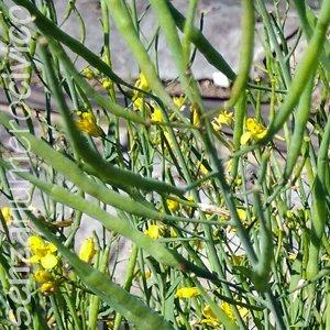 A maggio i broccoli rapa cominciano ad avere i bacelli che contengono i semi