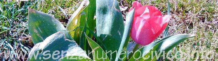 fioritura di maggio di un tulipano solitario