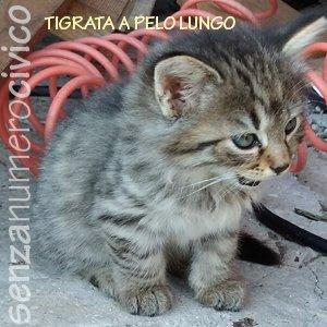 gattini di Selvaggia: tigrata a pelo lungo