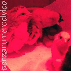 pulcini sotto la luce infrarossa