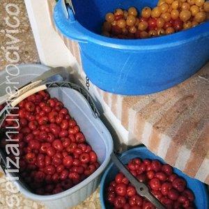 raccolto di pomodori antichi