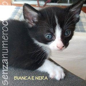 gattini di Bianchina: femmina bianca-nera
