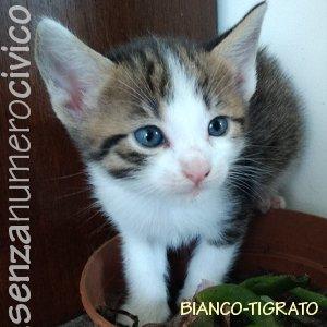 gattini di Bianchina: maschio bianco-tigrato