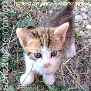 tigrata bianca e marroncina