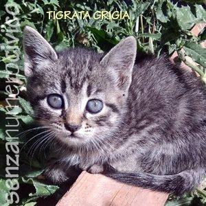 gattini di Selvaggia: tigrata grigia